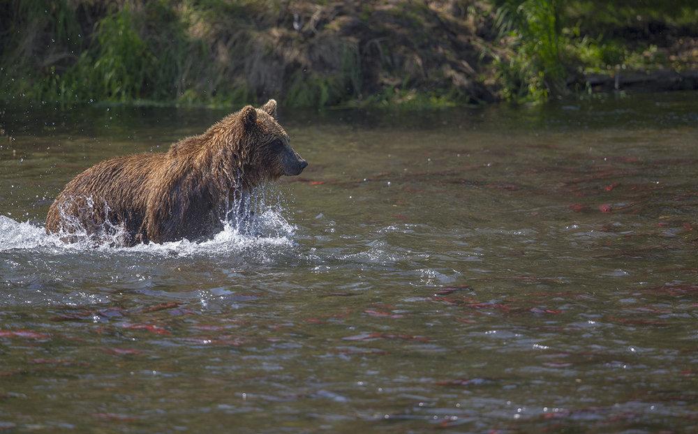 In einem  Fluss  voller  Lachse,  ist es   schwer sich  zuentscheiden.