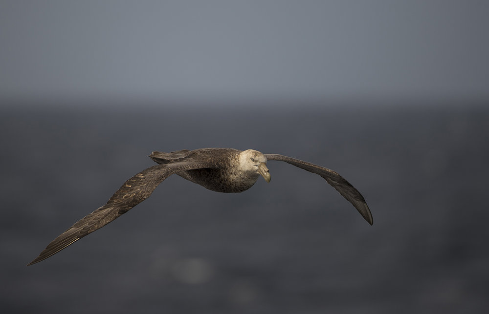 Riesensturmvogel   Macronectes giganteus     canon 1 d x II  4,5/500 mm  1/2000 sec  ISO 250  Drage Passage  21.12.2018  10:04 Uhr