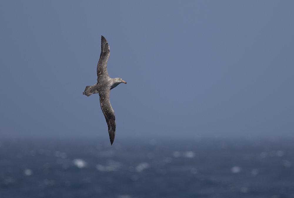 Nördlicher Riesensturmvogel  Macronectes halli