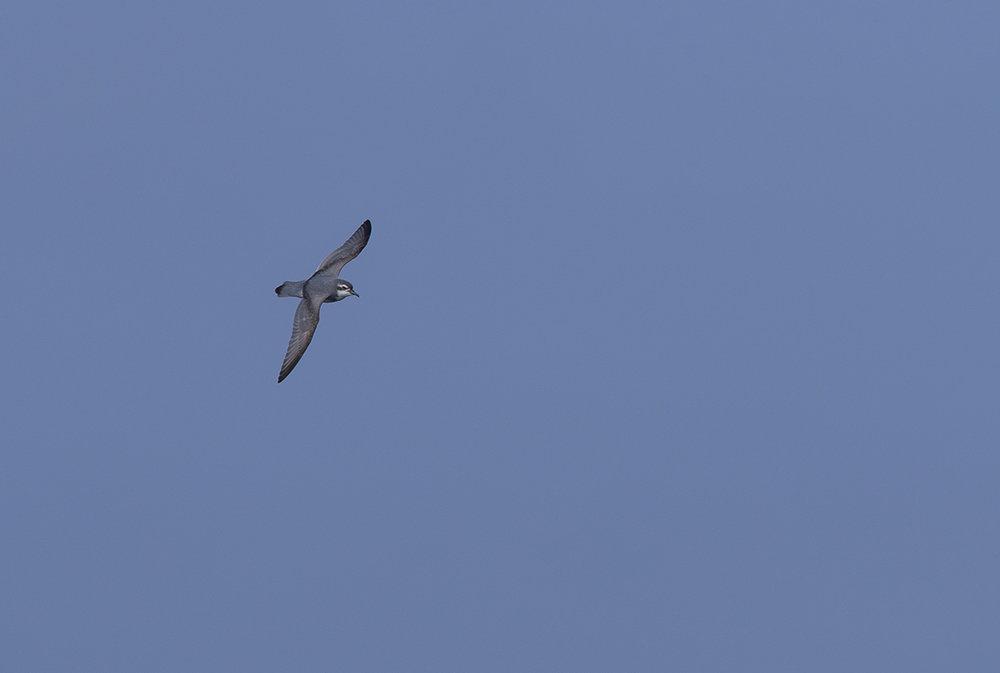 Dünnschnabel-Sturmvogel  Pachyptila belcheri  canon 1 d x II  5/420 mm  1/2000 sec  ISO 100  Südgeorgien  07.12.2018  09:18 Uhr