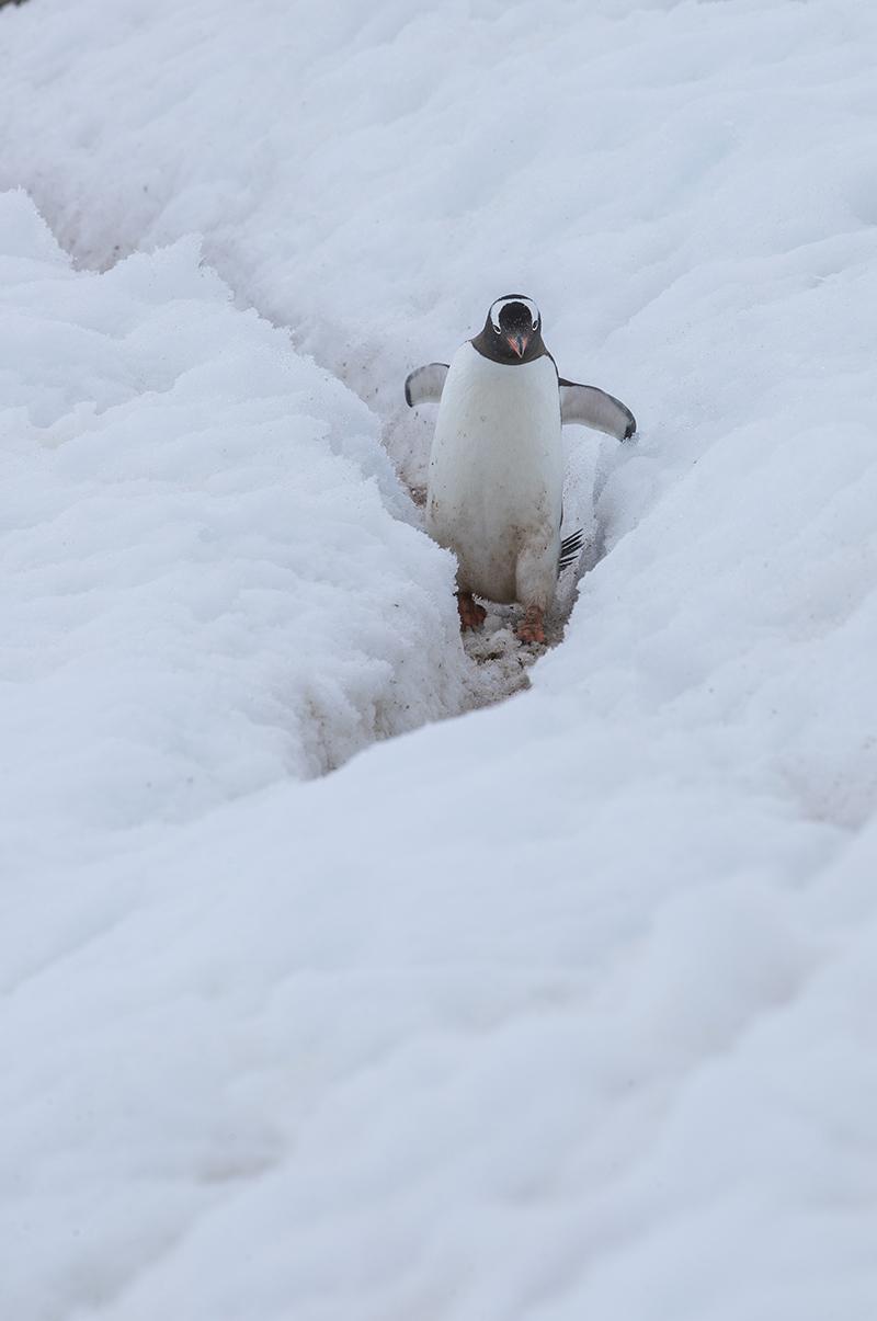 An jeder Pinguin Kollonie gibt es ausgetretene Wege zum Wasser.