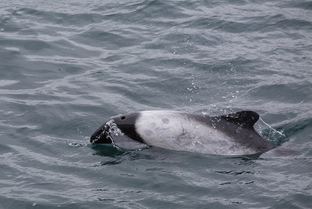 Commerson-Delfin  Cephalorhynchus commersonii