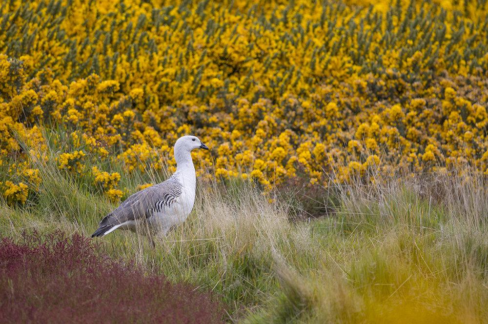 Magellangans  Chloephaga picta  Falkland
