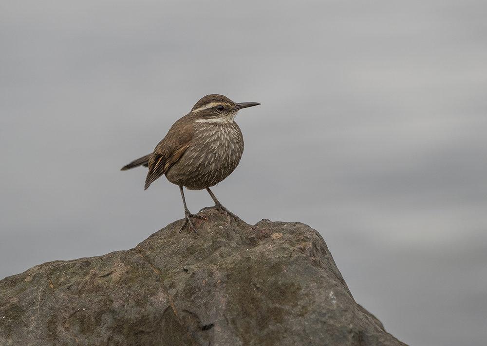 Uferwipper    Cinclodes oustaleti      Ushuaia