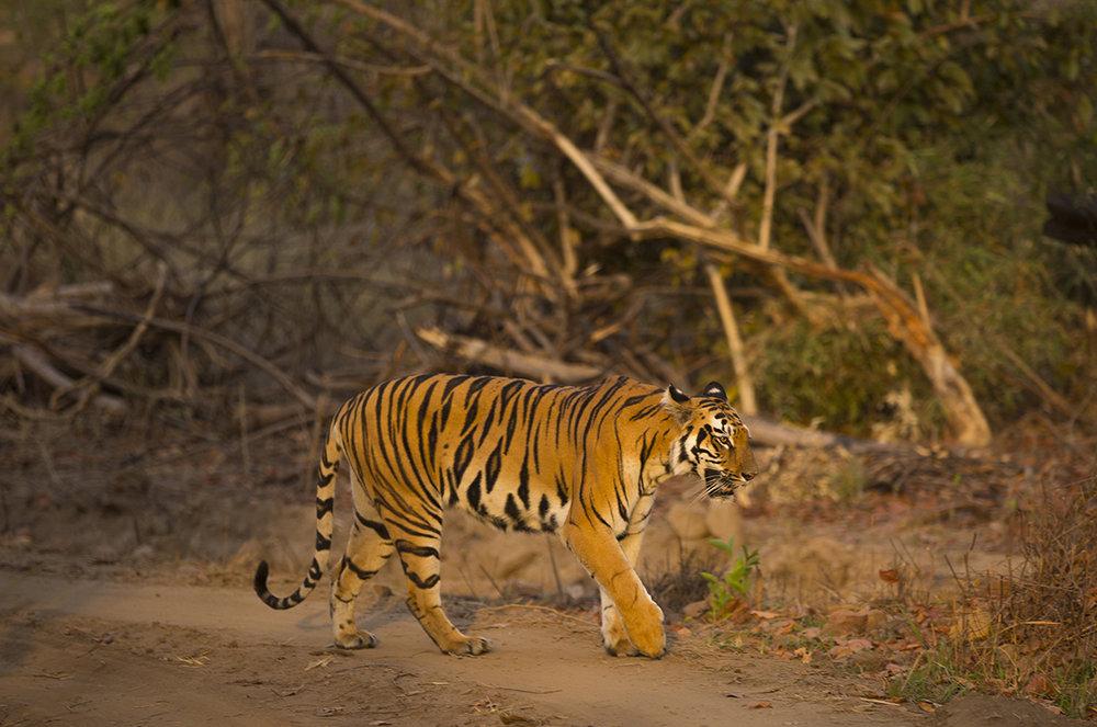 Im Tadoba-Gebiet in den ersten Morgenstunden begegnen wir dieser Tigerin, sie wird in einer Entfernung von 5 m an unserem Jeep vorbei schlendern.  Canon 5 d III  2,8/ 170 mm  1/ 200 sec  ISO 100  02.04.2019  6:30 Uhr