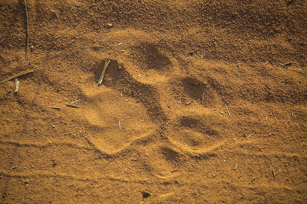 Die erste Tigerspur auf unseren Wegen.