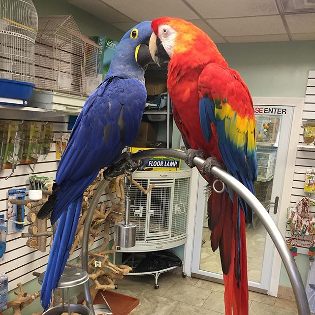 Spending some time with Uncle Charlie at WIA while mommy is on vacation.  #parrot #parrots #wingingitaviary #parrotsofinstagram #bird #birds #birdsofinstagram #animal #animalsofinstagram #parrotlover #birdlover #animallover #parrotsofig #animals #animalsofig #parrotstore #birdstore #longisland #newyork #birdsofwia #parrotny #africangreycongo #hyacinthmacaw