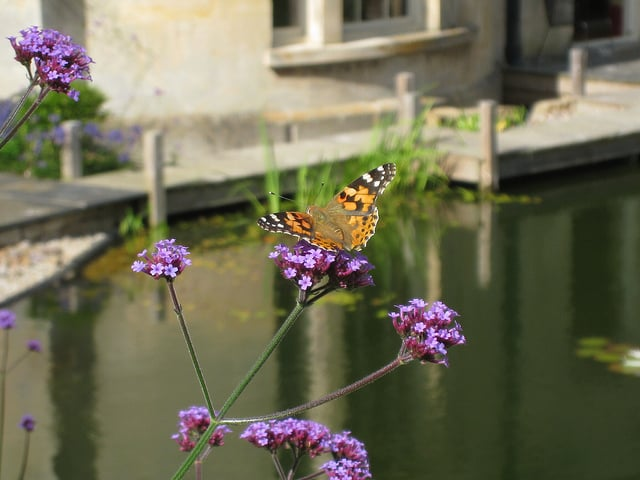 A painted lady butterfly drinking from Verbena bonariensis by a wildlife pond in a Cotswolds garden.