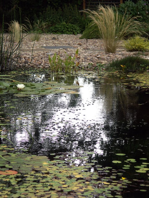 The native water lily, Nymphaea alba covers the surface of this Gloucestershire garden wildlife pond.