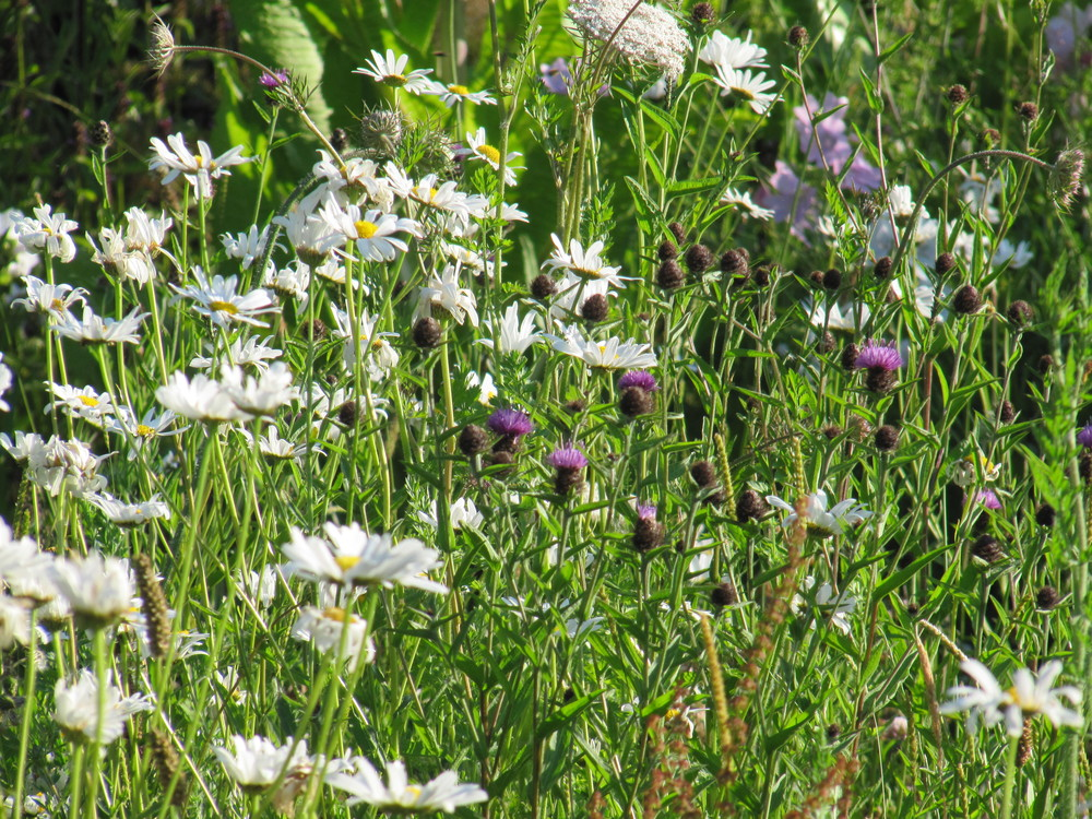 Dog daisies and knapweeds, stalwarts of a wild flower lawn
