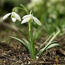 Galanthus nivalis.jpg