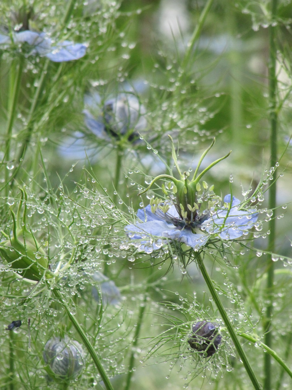 Love in a mist, the common name for  Nigella damascena, a lovely annual with ornamental seed pods..JPG