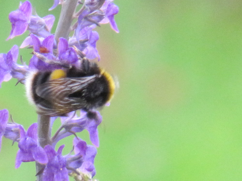 Bumble bee on Nepeta.JPG