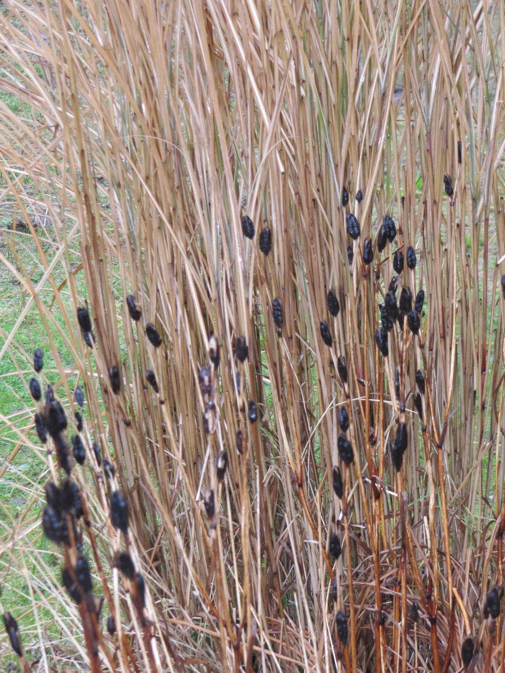 Iris seed heads and Calamagrostis 'Karl Foerster'.JPG