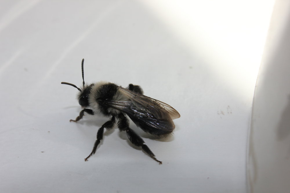 Ashy mining bee - I think.JPG