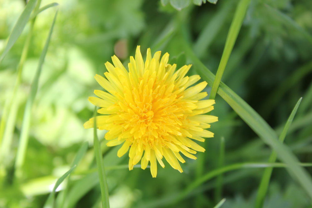Beautiful dandelion.JPG
