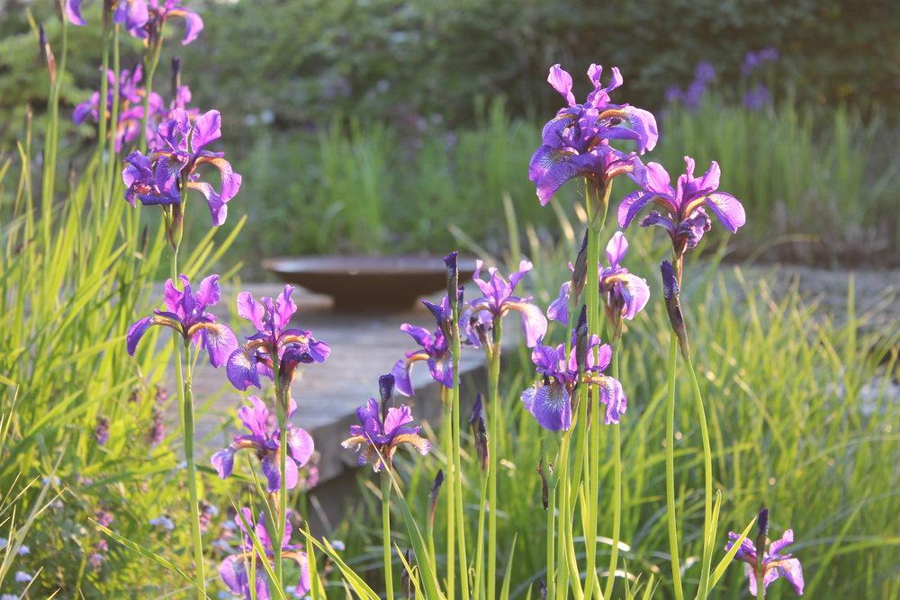 Iris sibirica.JPG