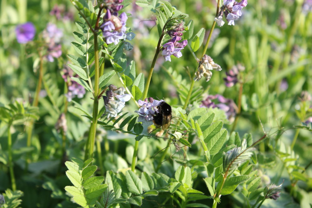 Bumble bee feasting on bush vetch.JPG