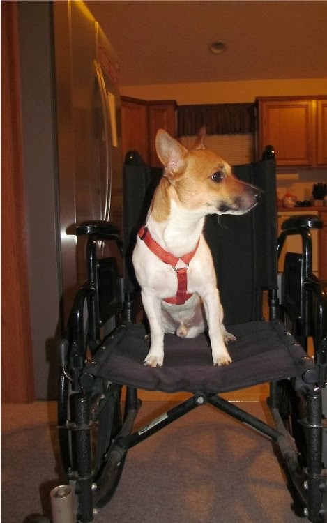 Medium sized dog sitting in a manual wheelchair