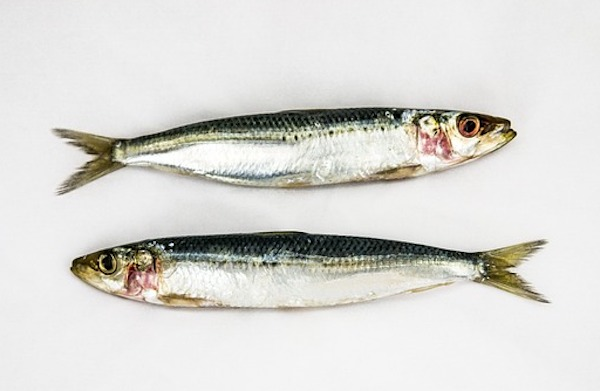 in the spotlight - sardines by stephanie dickisonjpg.jpg