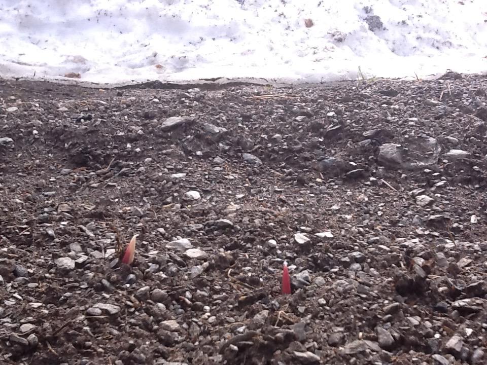 De rødlilla hvitløksspirene dukker opp langs snøkanten mens bakken enda er frosset.