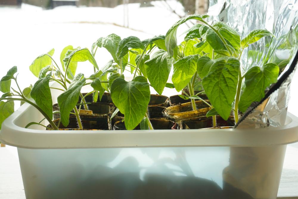 Plantene lengst inne i rommet, nærmest aluminiumsfolien fikk betydelig bedre vekst enn de nærmest vinduet.