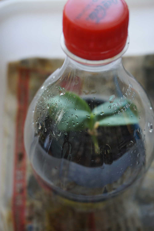 6/7 - Kutt av en plastflaske og tre over eller bare dekk med hvit plast. Det må være 100% luftfuktighet og ikke for varmt