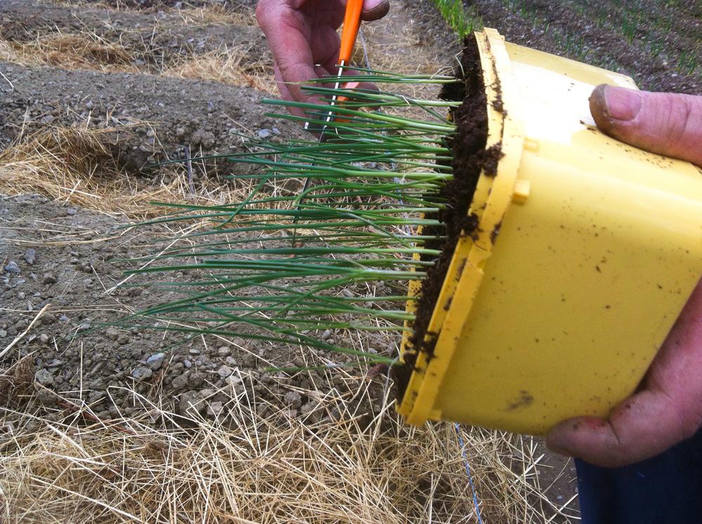 Purre bør klippes ned før utplanting.