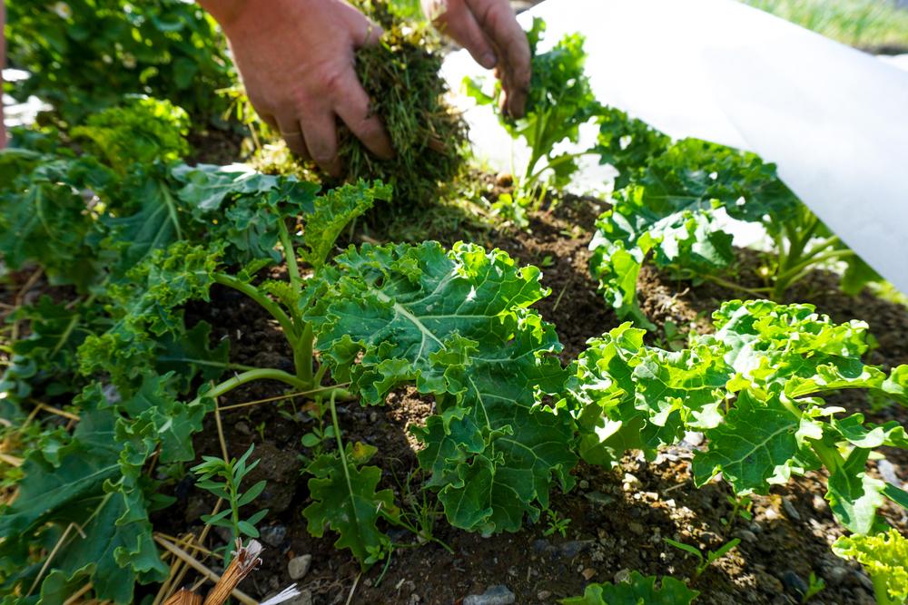 Plengress legges til dekke på jorden mellom grønnkålen.