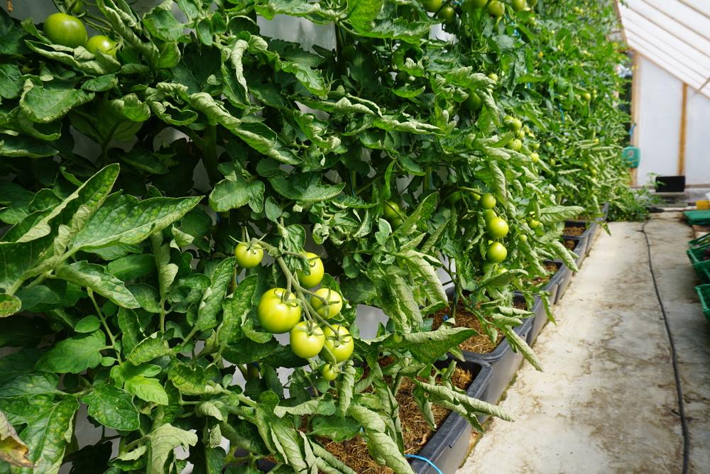 Tomatplantene har vokst veldig bra med bare brenneslevann.