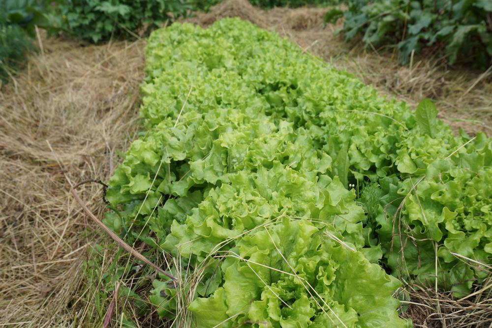 Salaten vokser villig.