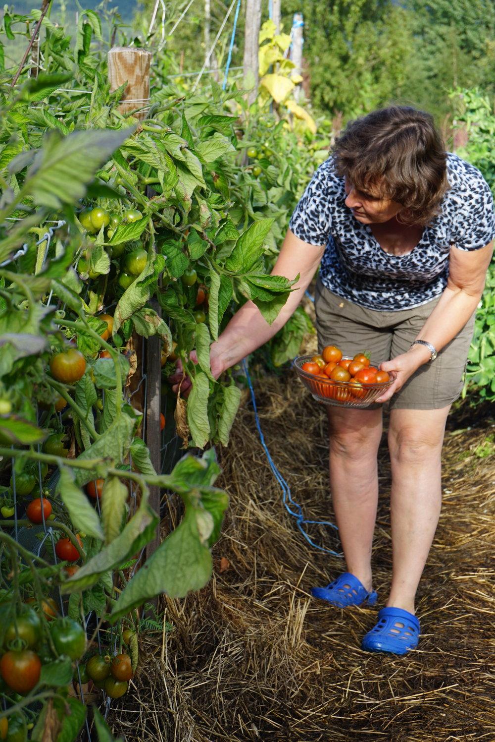 Det ble gode avlinger også på tomatene utendørs. Ingen synlig næringsmangel.