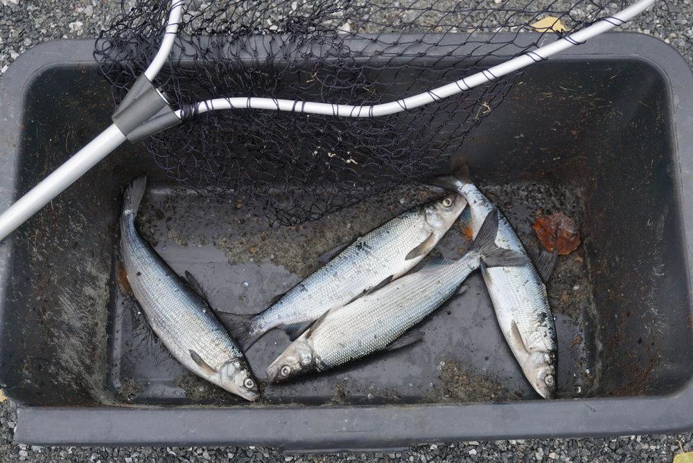 Med en langskaftet håv og god hodelykt er siken forholdsvis lett å fange. Den tiden det var aktivt sikfiske om høsten, kunne enkelte håve 100 kg på en kveld.