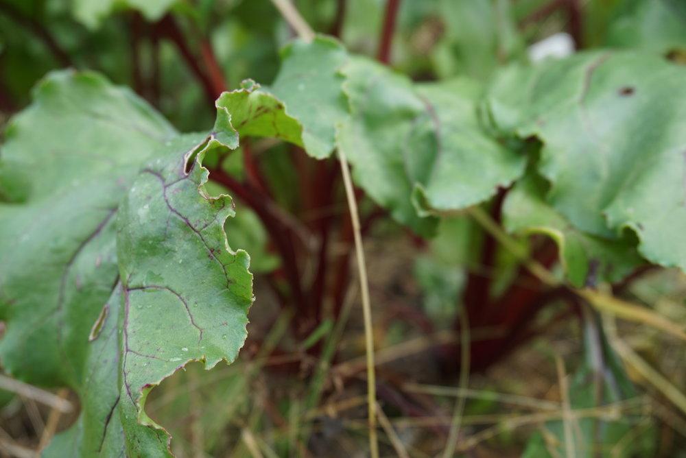 Selv om vi ikke lenger er vant til det, er rødbetblader og stilk like god mat som bladbete. I Øst - Europa er det vanlig å bruke hele planten.