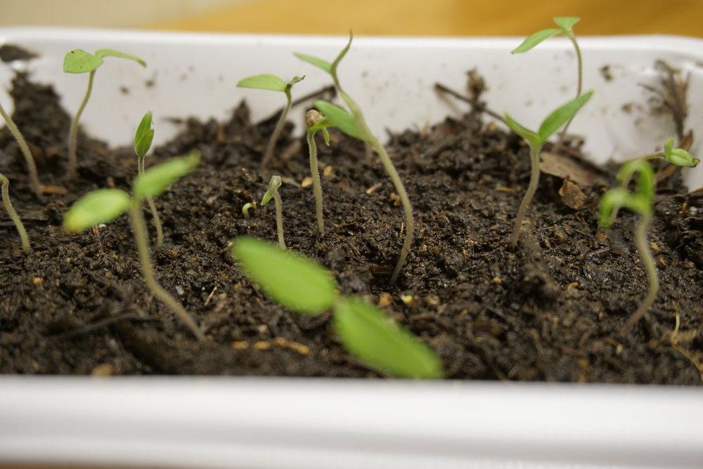 På en uke gikk de fra å være dypfrosset til å bli små planter i vinduskarmen.
