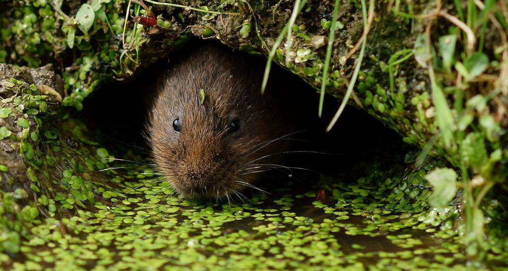 På tross av sin naturlige tilknytting til vann og våtmark, flytter den ofte langt inn på tørre bakker. Foto: Peter Trimming