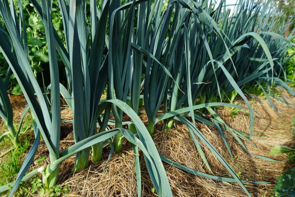 i god vekst med gressdekke og brenneslevann.