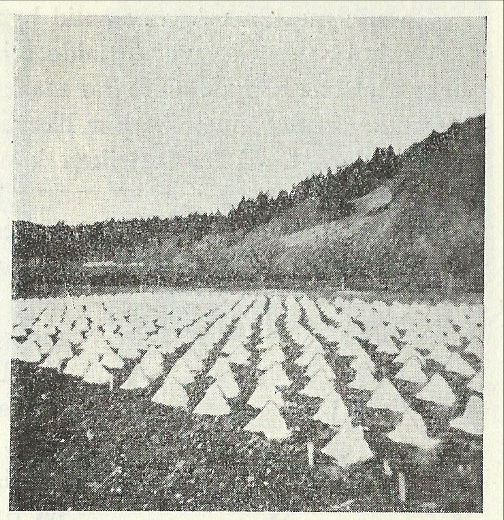 """Minidrivhus av vokset papir i produksjonsfelt på 40 tallet. Alle vekster som skulle bli tidlig ferdig eller trengte en ekstra lang sommer, fikk noen uker under hvert sitt lille """"telt"""". Salgsverdien av hver enkelt grønnsak var den gangen mye høyere og forsvarte derfor både vokspapir og ekstra-arbeid. Foto: Torfinn Skard"""