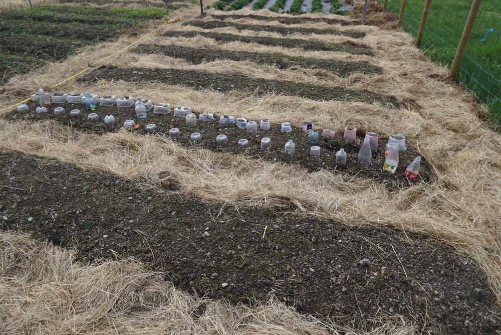 Halve brusflasker, jordbærkurver, rekebokser og delte matoljeflasker i skjønn forening over hver sin småplante. Alle bokser og flaskebunner borrer vi hull i for lufting. Fra vår hage i Valdres.
