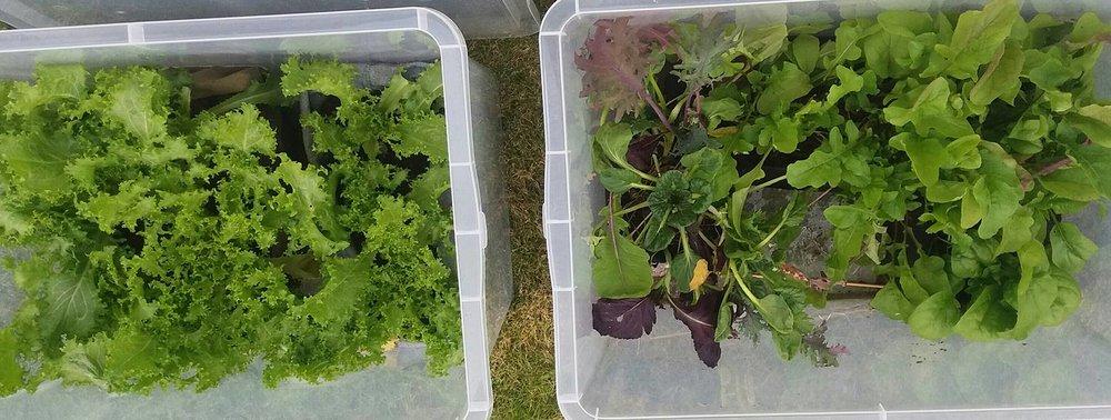 Plastkasser med lokk til lagring, er fantastiske små drivhus. Hele året dyrker Merethe ferske grønnsaker på verandaen. Med et mildt kystklima og lokk som kan justere luftingen etter været, er veksten upåklagelig