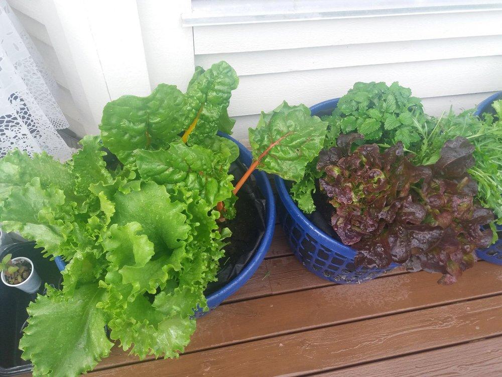 Grønnsakene bryr seg ikke om hva de vokser i. Plastkurver foret med plastsekker og fylt med hjemmeprodusert kompost er en renslig og produktiv måte å ha grønnsaker utenfor stuedøra.