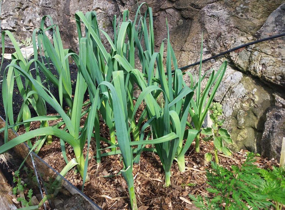 Purren trives hele året i Merethes hage og krever hverken nedfrysing eller annen lagring ut mot golfstrømmen.