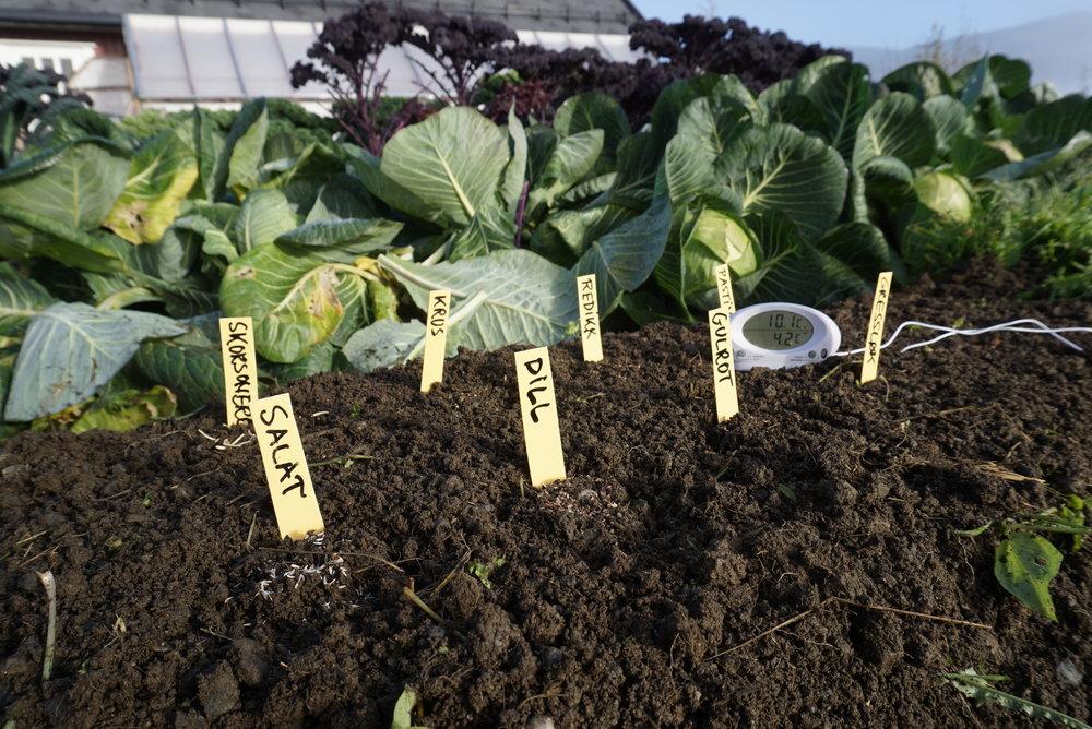 Et lite mikroforsøk med høstsåing av noen grønnsaker her i beredskapshagen i Valdres