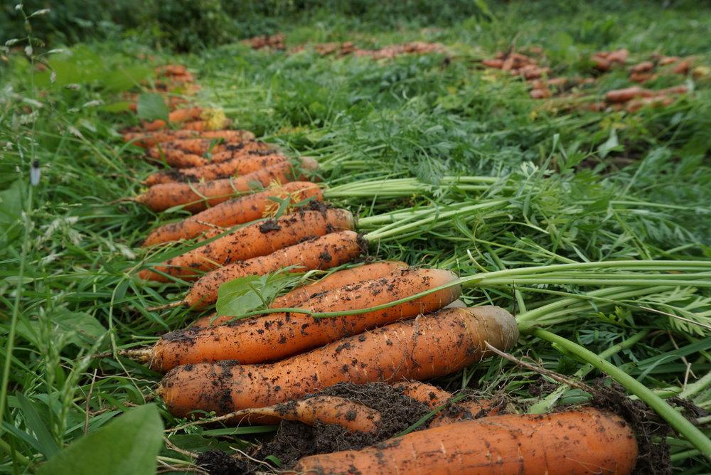 Med 200m2 jord, et fornuftig utvalg grønnsaksslag, godt frø, enkle håndredskaper, litt kunnskap dyrking og bruk av lokale gjødselkilder, vil man de fleste steder kunne høste flere hundre kilo hver sommer.