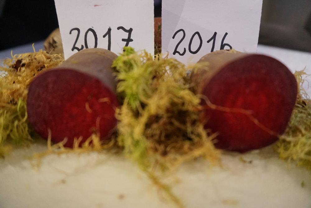 Foto 25 november 2017. Det er ikke lett å se forskjell på rødbeter fra 2016 og 2017. Både i smak, konsistens og spenst holder de seg forbausende godt over et år etter at de ble høstet.