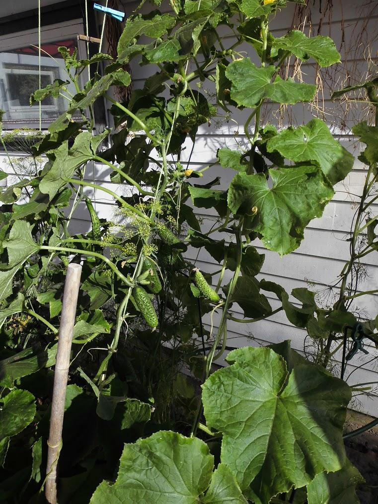 Med plass til å klatre mot veggen, utnytter Akasie agurkene den lune plassen.