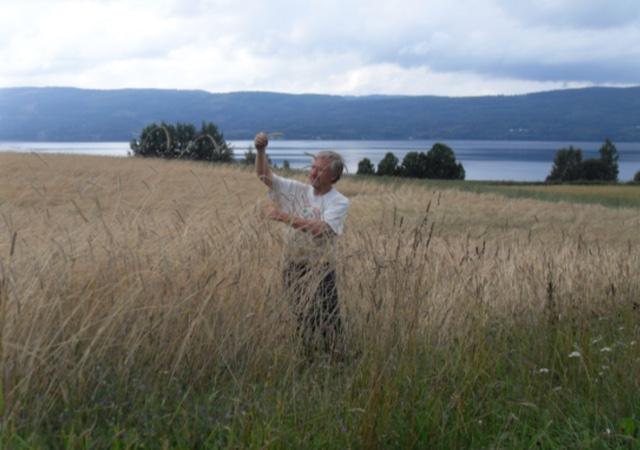 Johan Sward i en åker av den sagnomsuste Svedjerugen. 2m strålengde er helt vanlig.