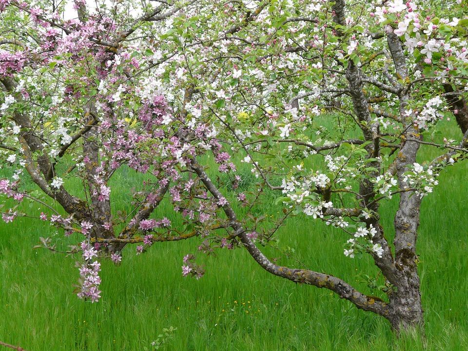 Det synes godt i blomstring eller på moden frukt når et tre er podet inn med en eller fler andre sorter.