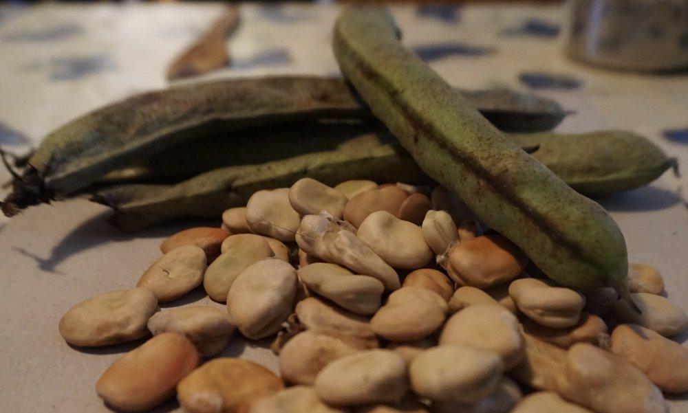 Bondebønner til mat høstes grønne, ferske og myke, de på bildet er modne å skal brukes til såing.Bondebønnen er lett å dyrke eget frø av.