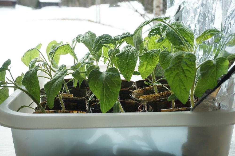 Tomatplanter i god utvikling i vindushylle med lysreflekterende bakvegg av aluminiumsfolie. Merk deg at plantene lengst fra vinduet, nærmest folien, er de som vokser best og rettest. De nærmest vinduet strekker seg mot lyset.